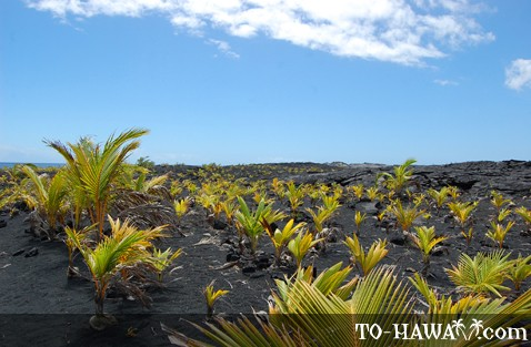 Palm trees planted on the lava field