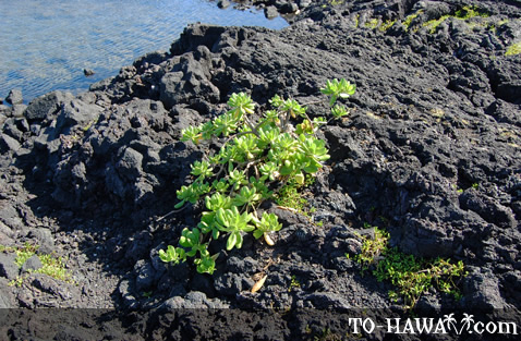 Plants growing on lava rocks