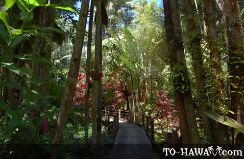 Wooden boardwalk leads through rainforest