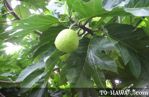 Breadfruit tree foliage and fruit