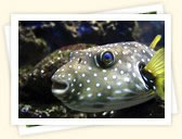 Pufferfishes