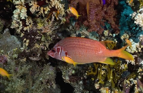 Squirrelfishes And Soldierfishes Holocentridae