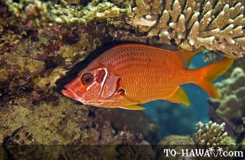 Squirrelfishes and soldierfishes holocentridae for Big eye squirrel fish