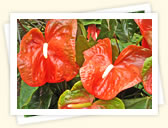 Anthurium (Anthurium, various names)