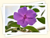 Glory Bush (Tibouchina urvilleana)