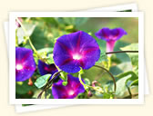 Morning Glory (Ipomoea, various names)