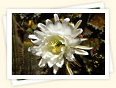Night-blooming Cereus (Hylocereus undatus)