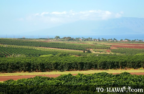Maui coffee farm