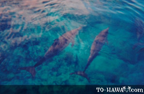 Spinner Dolphins on Oahu's west coast