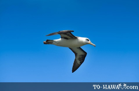 Hawaiian albatross