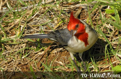 Hawaiian red-crested cardinal