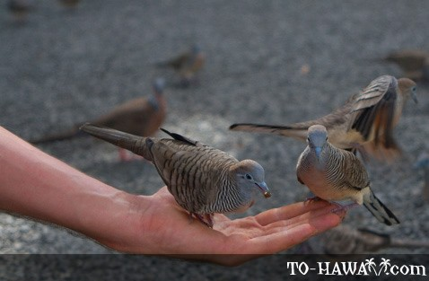 Hawaiian zebra doves