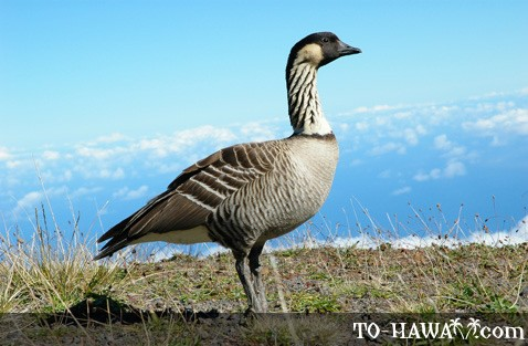 Nene endangered Hawaiian goose