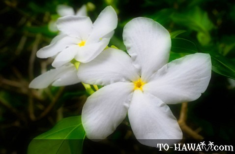 hawaii flora  hawaiian flowers and plants, Beautiful flower