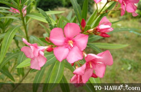 Hawaii flora hawaiian flowers and plants oleander mightylinksfo