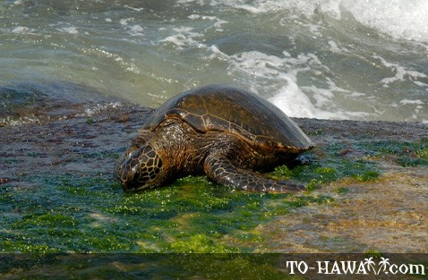 Sea turtle feeding on seaweed