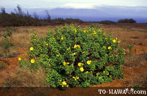 A native hibiscus on Kaho'olawe