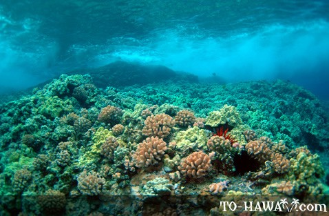 Hawaiian Reef