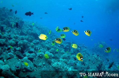 Hawaii fish and marine mammals the underwater world of hawaii butterflyfish publicscrutiny Images
