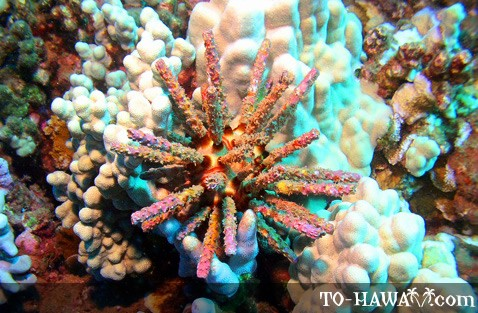 Colorful sea urchin on a Maui coral reef