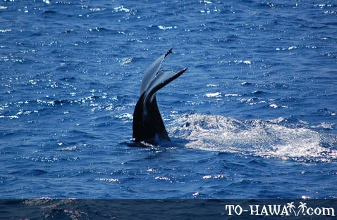 Humpback whale near Oahu