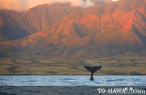 Humpback whale near Maui at sunset