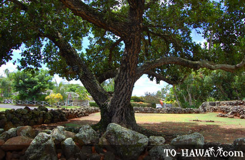 A tree grows in the heiau