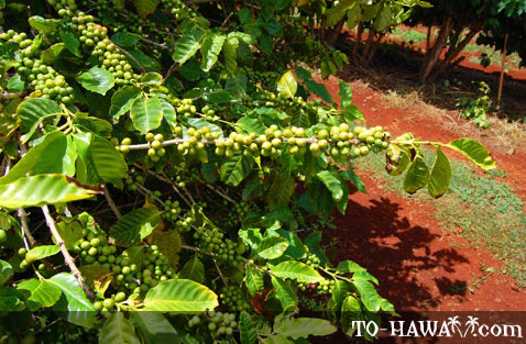 See how the coffee grows