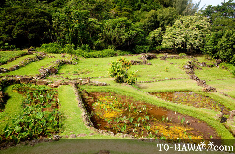 Terraced taro garden on Kauai