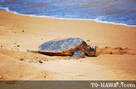 Sunbathing honu (green sea turtle)