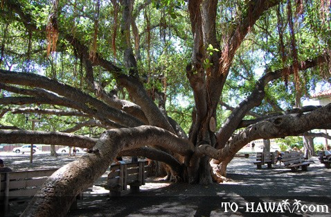 Giant banyan tree in Lahaina
