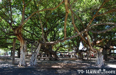 One of the largest banyan trees in the U.S.