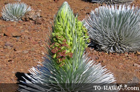 Blooming silversword
