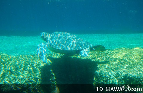 Honu Hawaiian green sea turtle