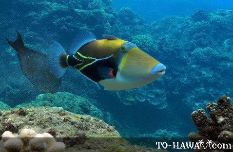 Picasso Triggerfish at Black Rock