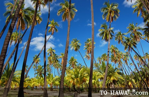 Tall coconut trees on Molokai
