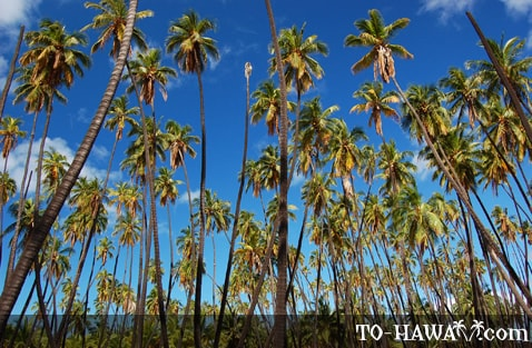 One of Hawaii's oldest coconut groves