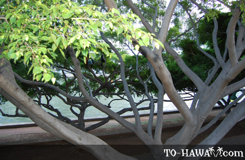 A tree at the Ala Wai Canal park