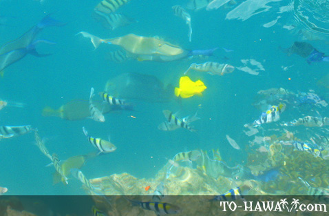 Harbor reef fish