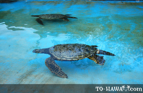 Hawaiian sea turtle - Honu