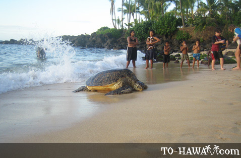 Turtle coming ashore