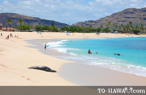 Monk seal on Ma'ili Beach