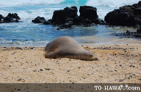 Monk seal on the beach