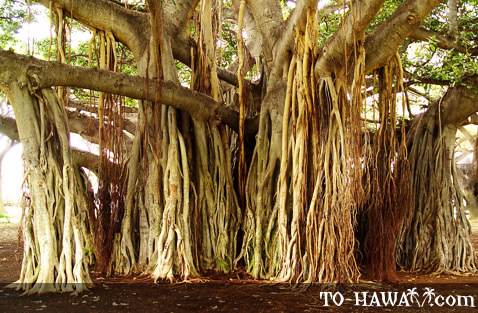 Old banyan tree in Waikiki