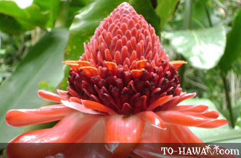 Torch Ginger