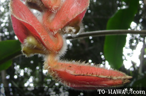 Fuzzy Orange Hanging Heliconia