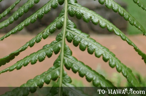 Hapu'u Hawaiian tree fern