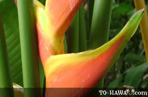 Heliconia Obscura