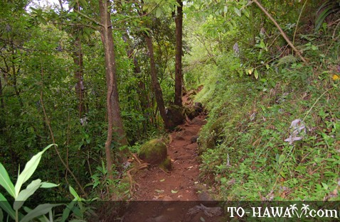 Narrow part of the trail to Manoa Falls
