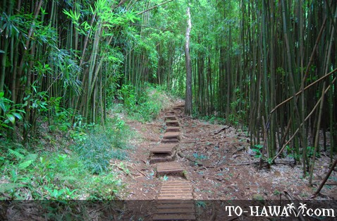 Trail among bamboo trees